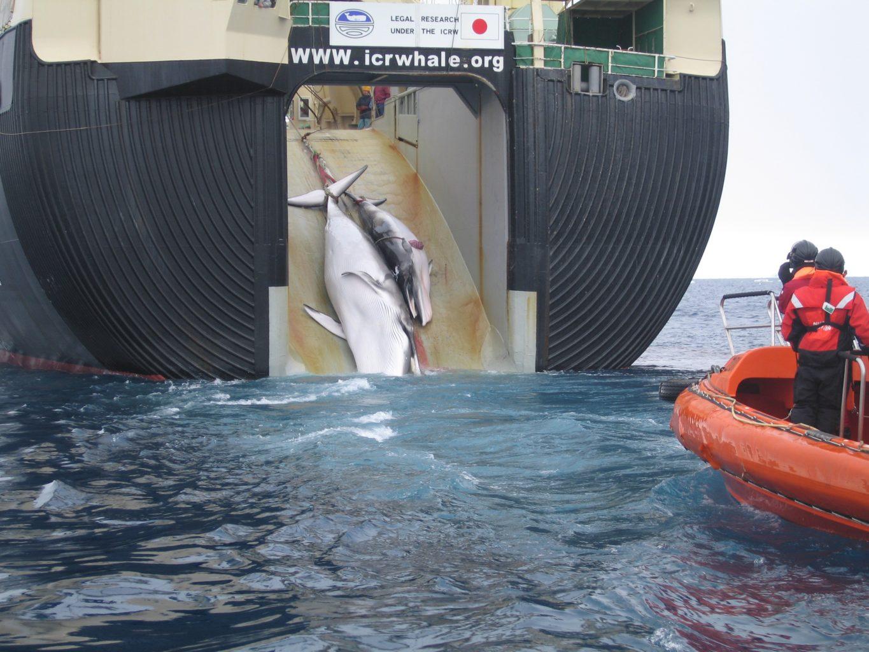 Японские охотники убили 122 самки беременных китов