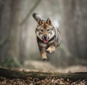 сикоку Нидерланды собака лес бег
