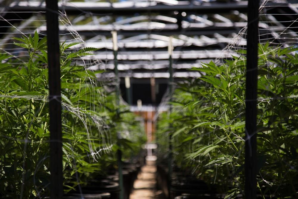 марихуана Канада наркотик каннабис
