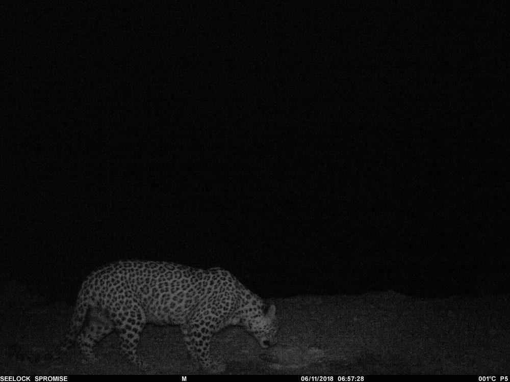 Редкий переднеазиатский леопард поселился на западе Казахстана