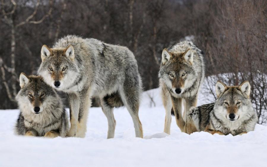 Каково это – быть охотником на волков
