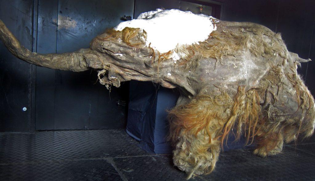 мамонтенок юка юки клонирование мамонтов наука история ученые эксперимент