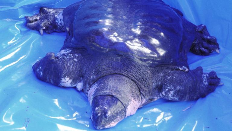 черепаха янцзы последняя в мире умерла