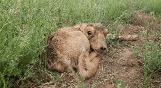 Казахстан готовится к бэби-буму сайгаков