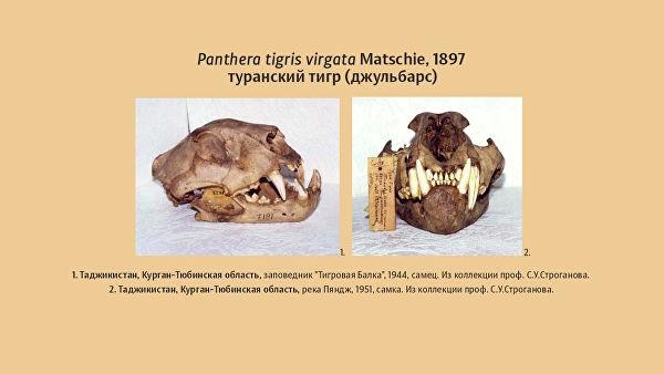 амурский тигр каспийский тигр джульбарс популяция вымершие животные природа наука