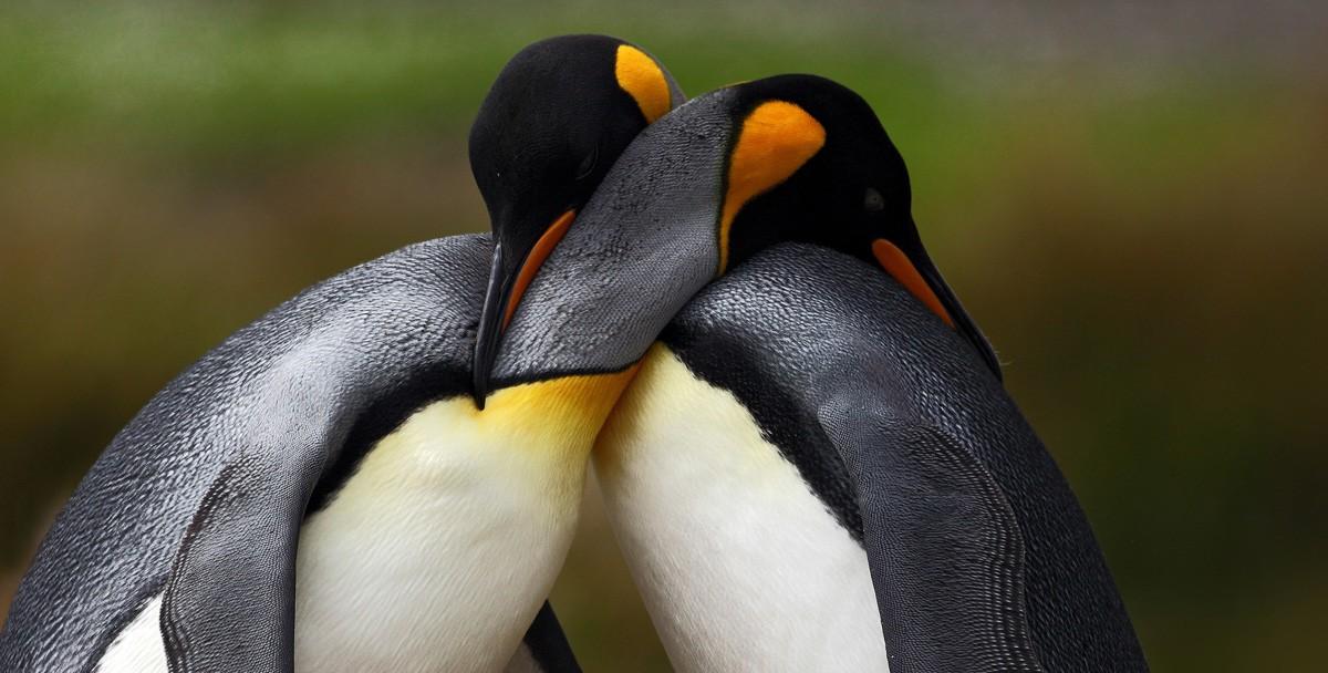 Пингвины-геи из берлинского зоопарка усыновили яйцо