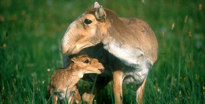 Сайгаки обживаются в зоопарке Алматы