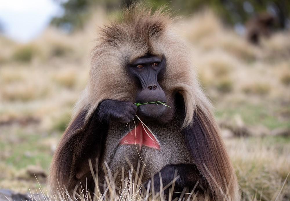 Сердце современного человека становится похожим на обезьянье