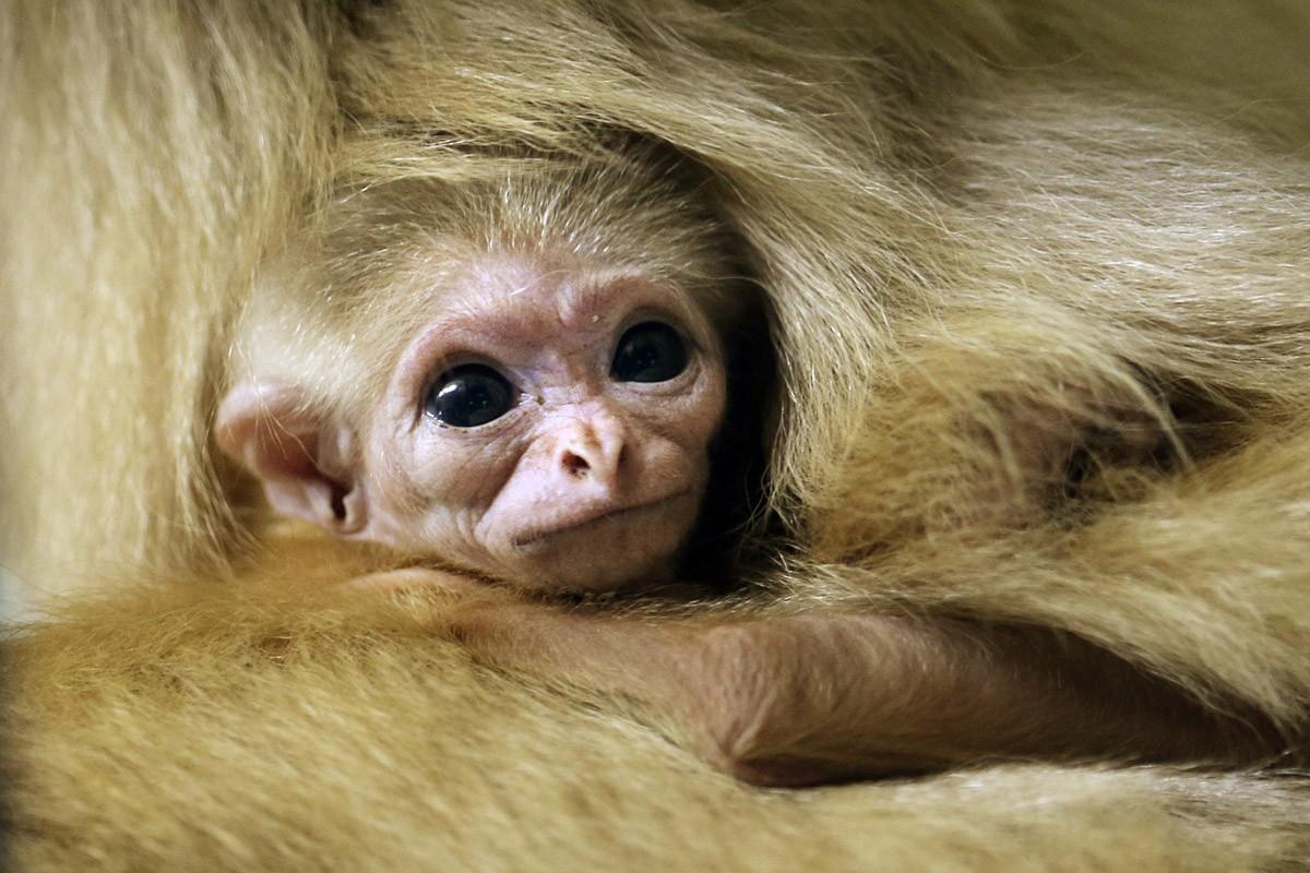 Детеныш белорукого гиббона родился в алматинском зоопарке