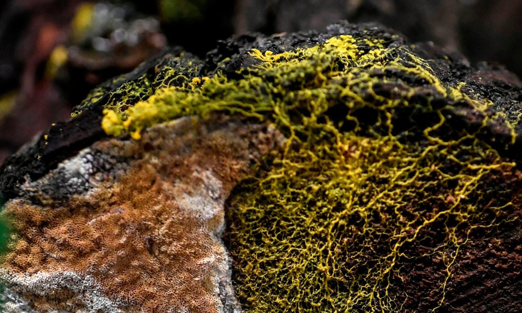 Новый организм: «слизистая плесень», у нее 720 полов и она может исцелять себя