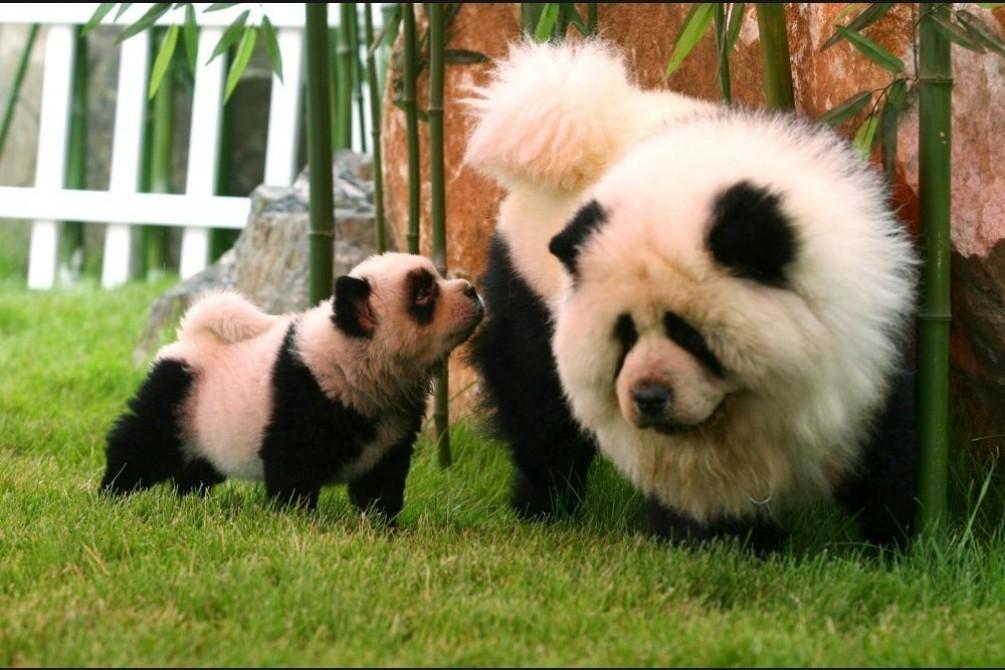 В Китае открыли кафе с пандами, но на самом деле это раскрашенные собаки