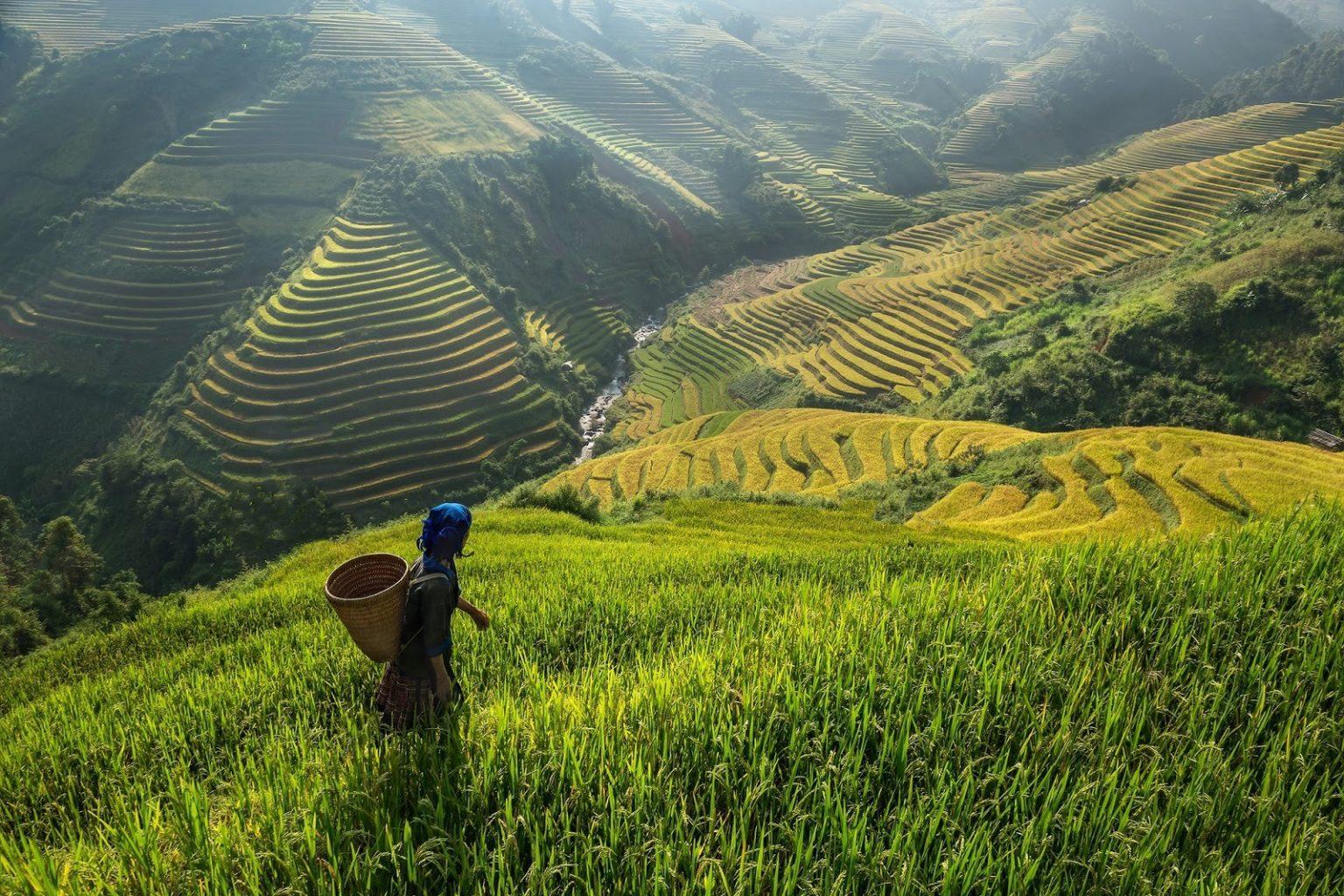 В будущем человечество может лишиться значительной части риса