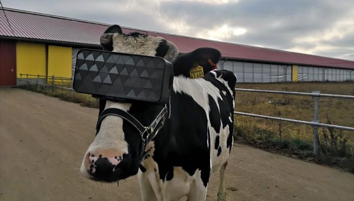 корова в очках