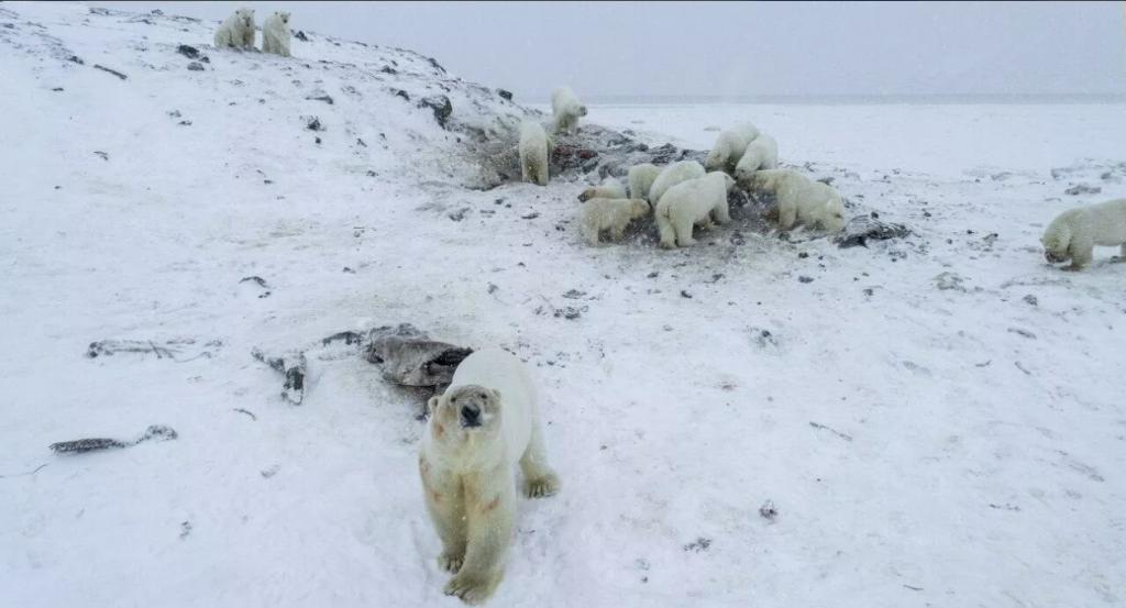 белые медведи окружили село