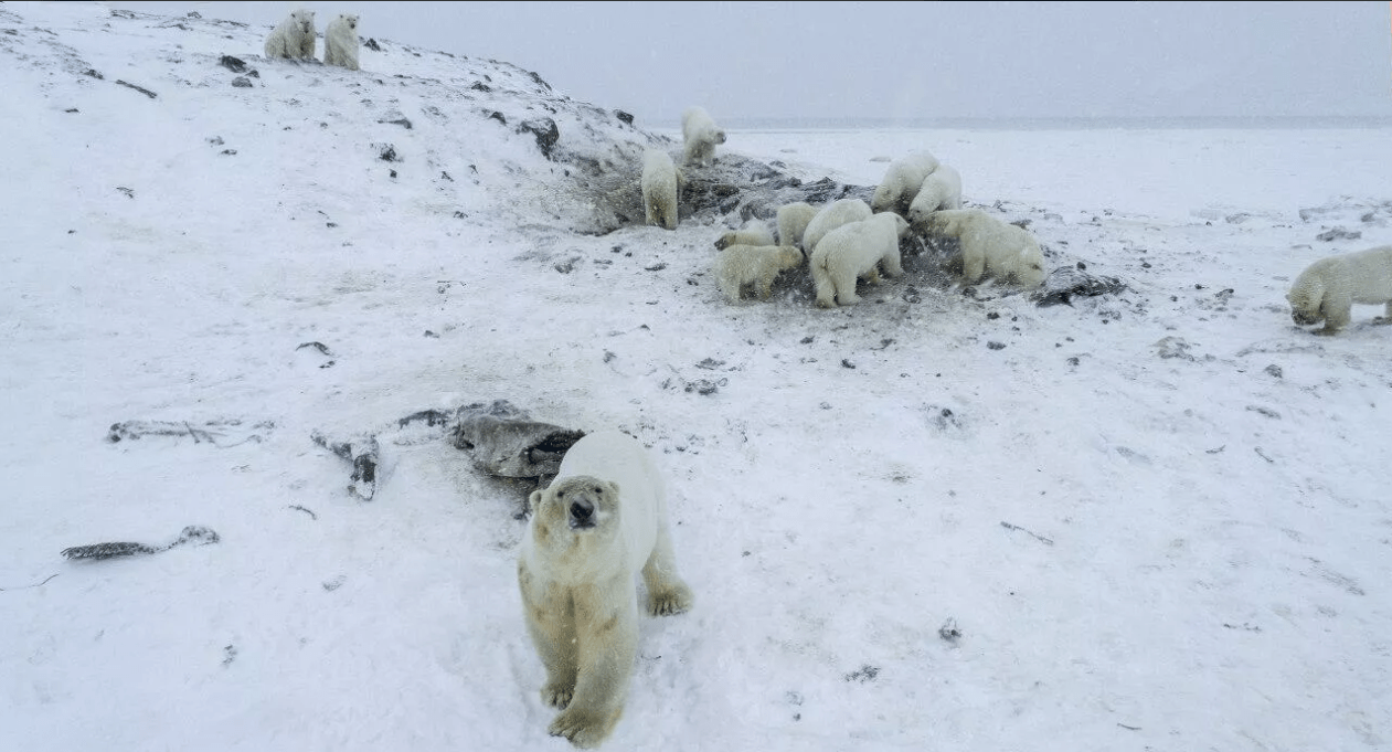 На Чукотке стая из 60 белых медведей окружила село, вызваны пограничники и полиция