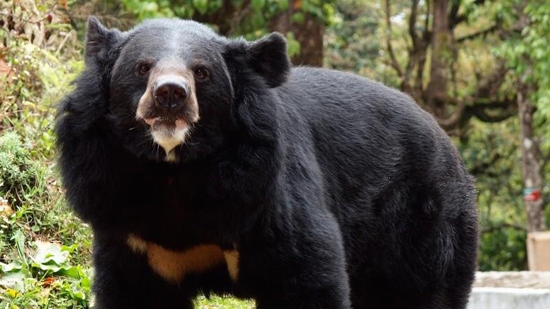 азитский черный медведь