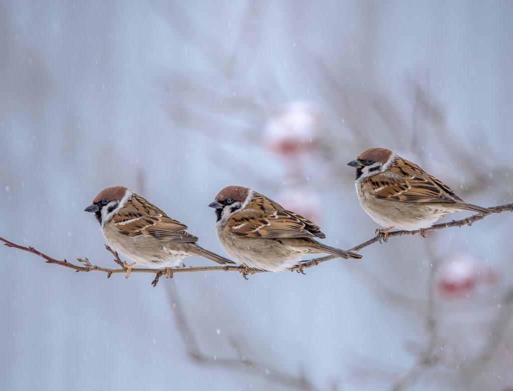 три птицы на ветке зимой
