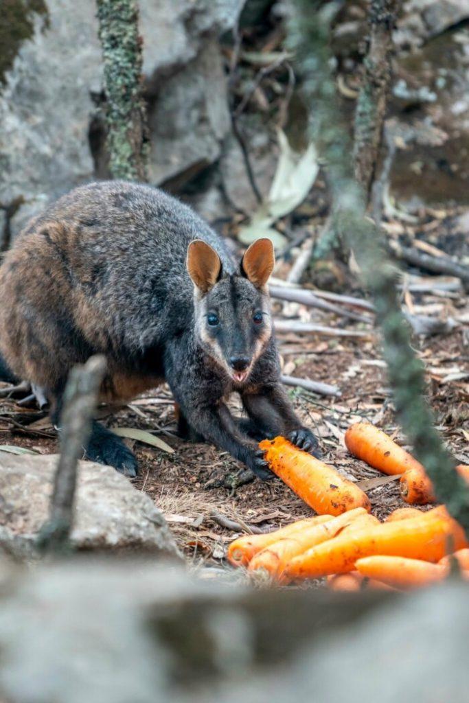 кенгуру ест морковку