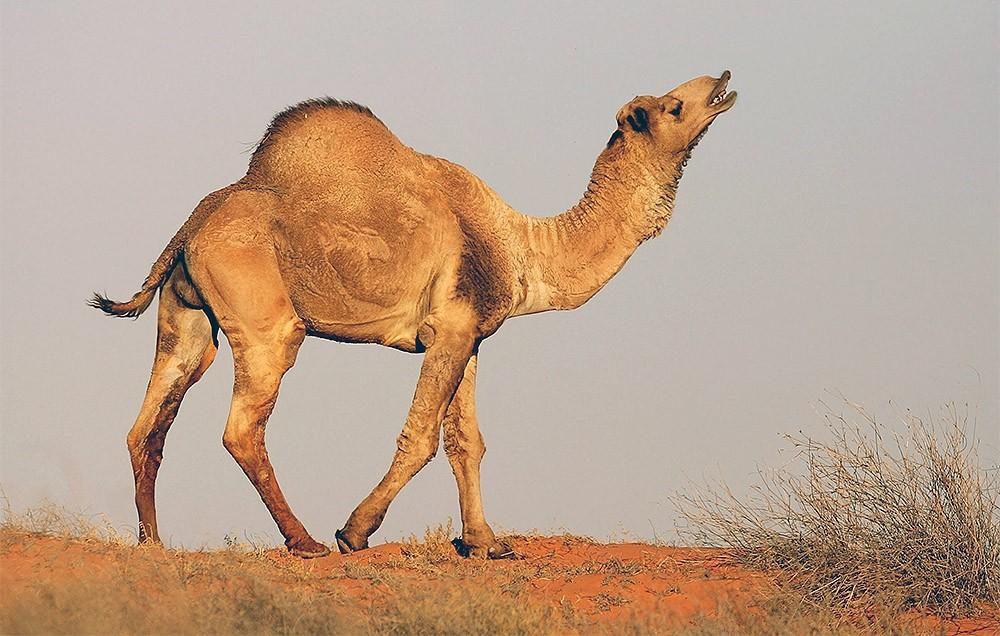 В Австралии начали истребление верблюдов – власти вынуждены убить 10 тысяч животных