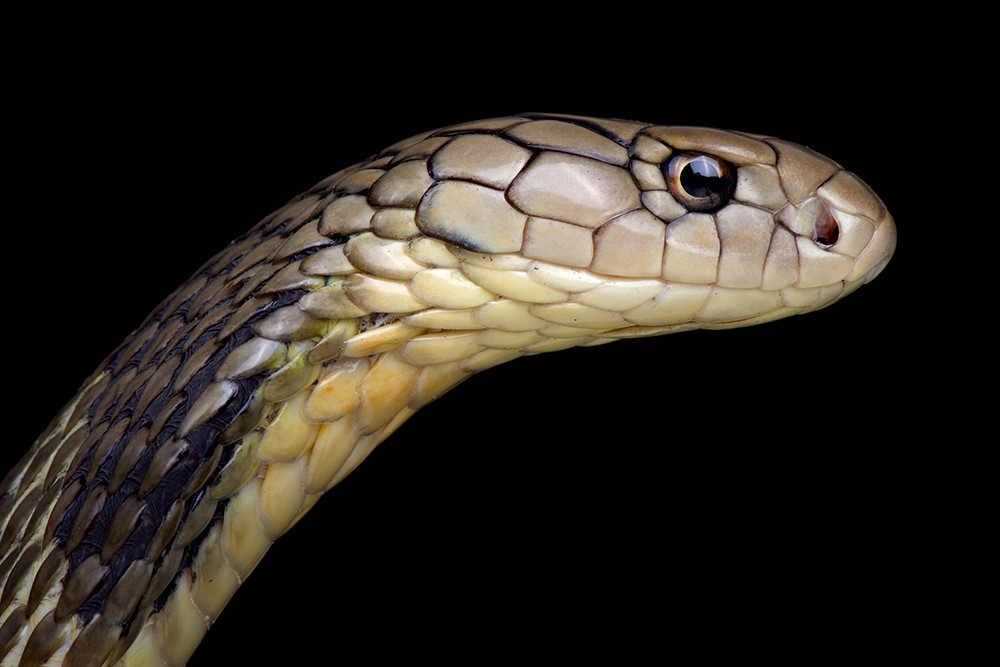 Змеиный грипп: смертельный китайский коронавирус мог перейти к человеку от змей