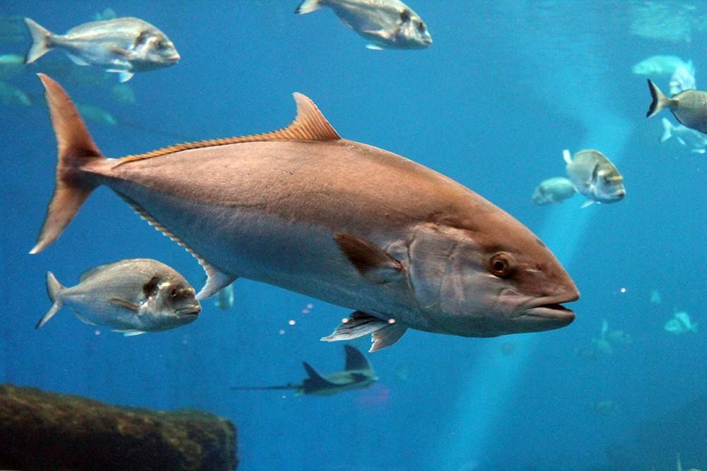 На аукционе в Японии продали тунца за $1,8 млн