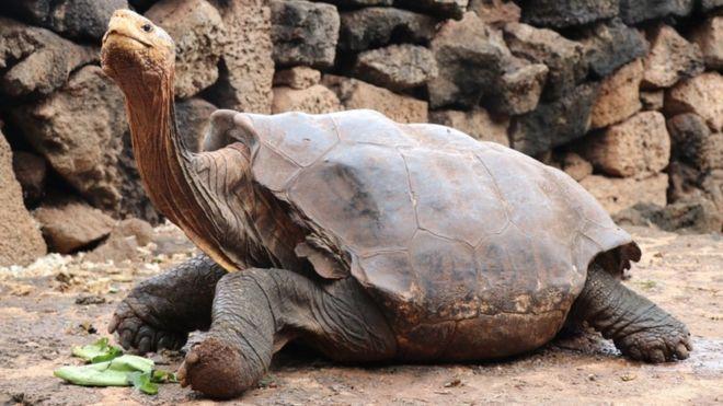 гигантская черепаха Диего