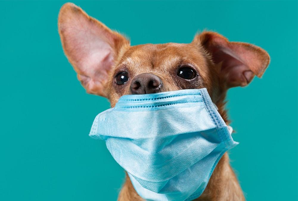 Собака в Гонконге заразилась коронавирусом