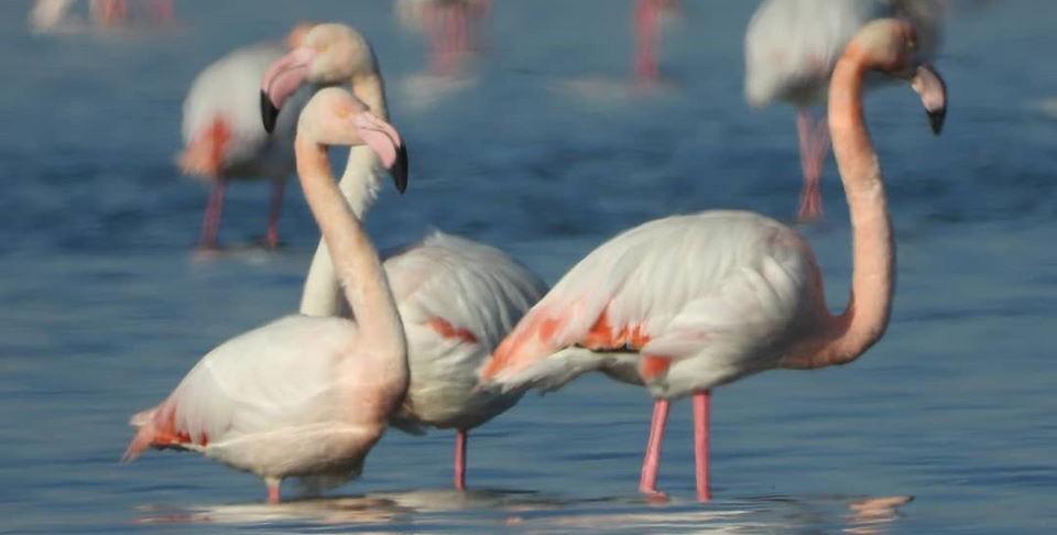 Стая фламинго прилетела на Каспий