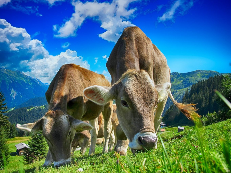 Зачем обнимать коров и почему Елбасы был прав
