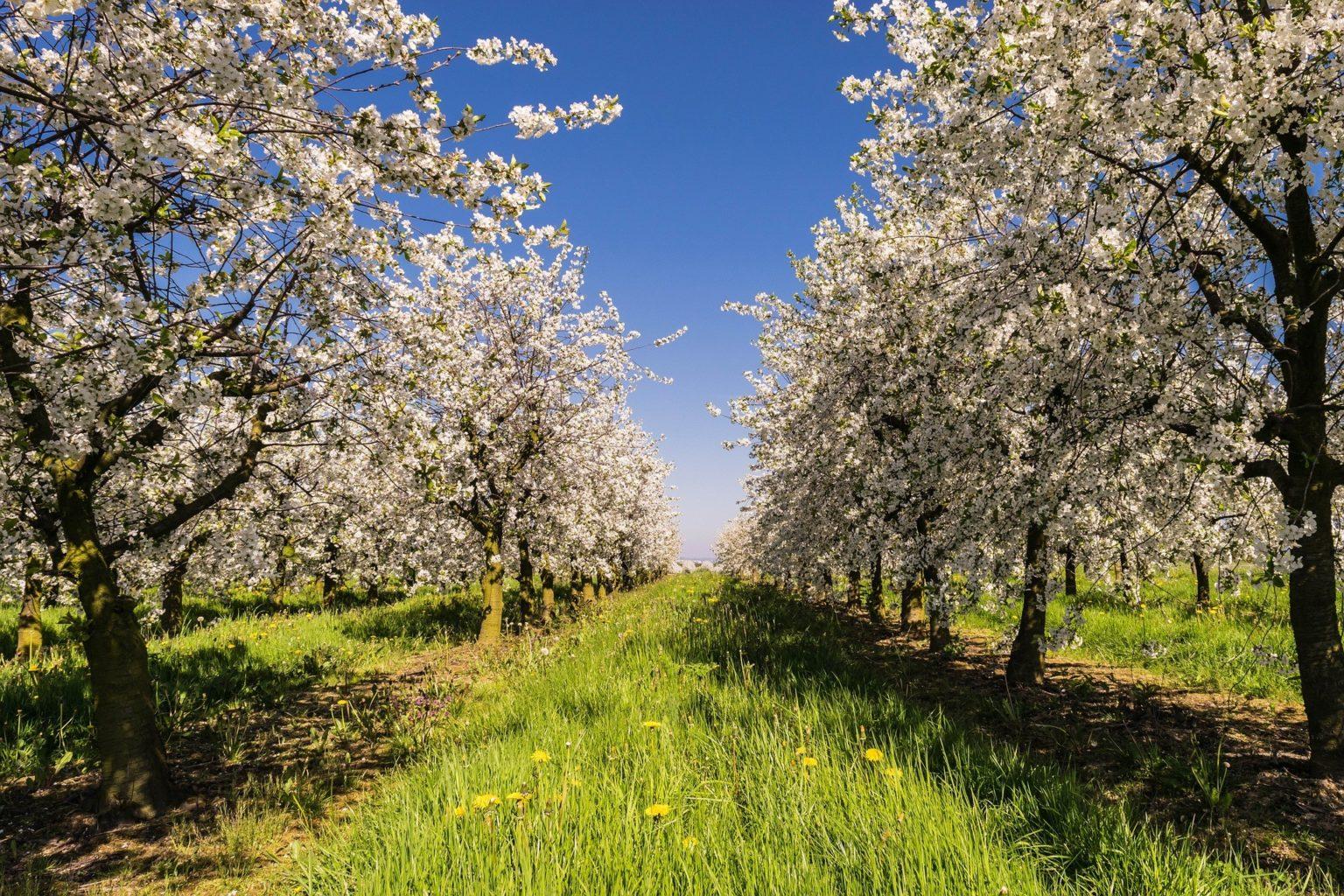 Тысячи яблонь вырубили в предгорьях Алматы. Чиновники отказываются от комментариев