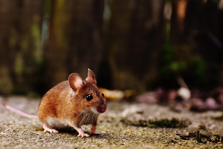 Учёные создали светящихся мышей для тестирования вакцин от коронавируса