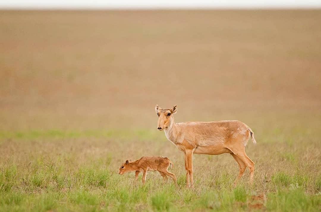 Сотни погибших сайгаков обнаружили в степи